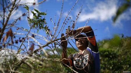 Mudanças climáticas podem reduzir áreas destinadas ao cultivo do café, especialmente o da variação arábica, que responde por 70% da demanda global.