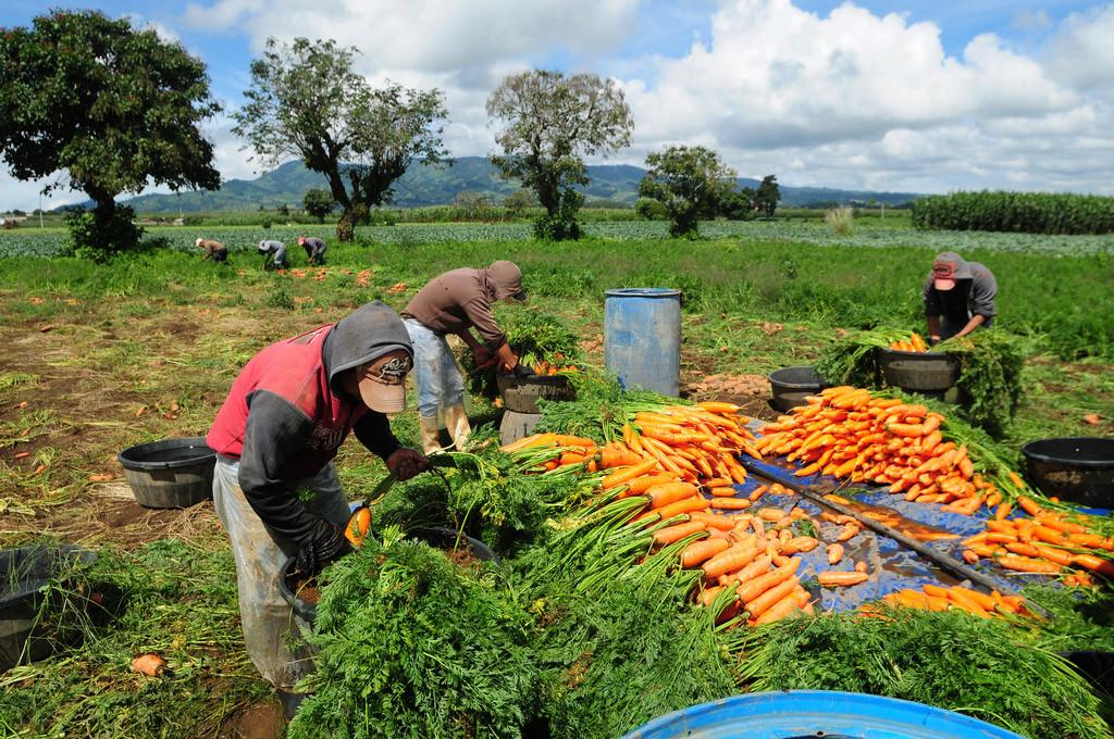 Trabalhadores agrícolas colhem cenouras em uma fazenda em Chimaltenango, Guatemala. Foto: Banco Mundial/Maria Fleischmann.