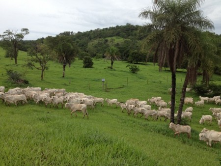 Pastagem em Pastoreio Voisin – Fazenda P.U. de João R. de Arruda Sampaio – Urutaí – Goiás.
