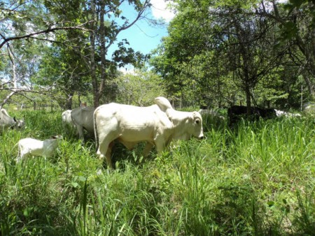 Gado em Pastoreio Voisin na Pastagem Ecológica – Fazenda Ecológica – MT.
