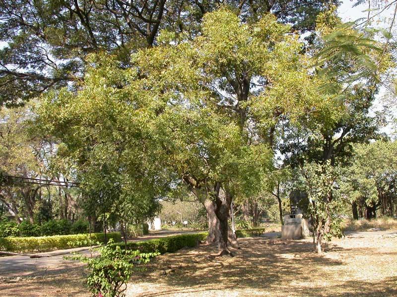 Azadirachta indica A. Juss., conhecida pelos nomes comuns de amargosa e nim (do hindi: नीम, nīm, também grafado como neem, segundo a transliteração inglesa), é uma árvore da família Meliaceae, com distribuição natural no sul da Ásia e utilizada na produção de madeira e para fins medicinais. Informação e foto: Wikipedia.