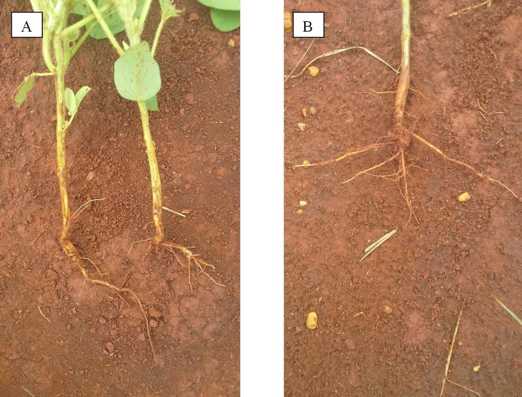 (fotos_por_Rodrigo_Arroyo)Sistema radicular de plantas de soja em fase inicial de desenvolvimento (A) e por ocasião do início do florescimento (B), em função do excesso de umidade no solo