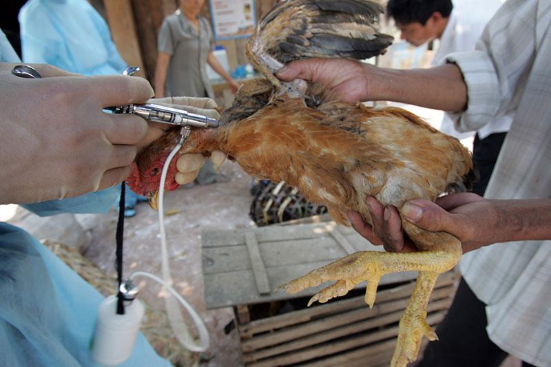 Na agropecuária, a resistência dos micróbios aos antibióticos é normalmente mais elevada em animais criados em sistemas de produção intensiva. Foto: FAO / Hoang Dinh Nam.